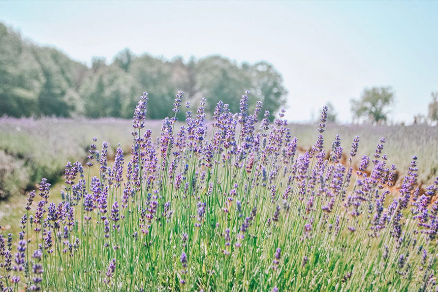 Laveanne Lavender field in full bloom in Port Hope