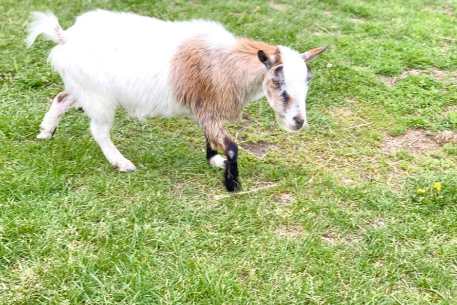 Goat in paddock at Haute Goat farm in Port Hope